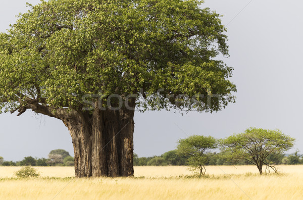 African Baobab Stock photo © mdfiles