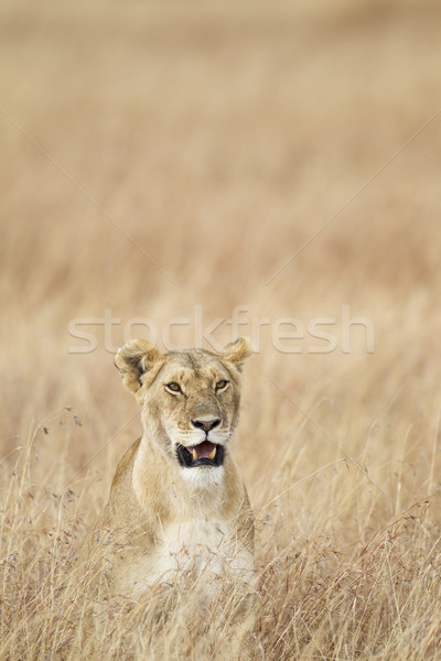 Lioness Stock photo © mdfiles