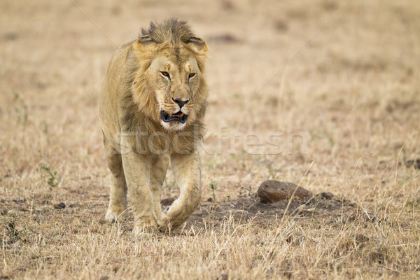 Male lion Stock photo © mdfiles