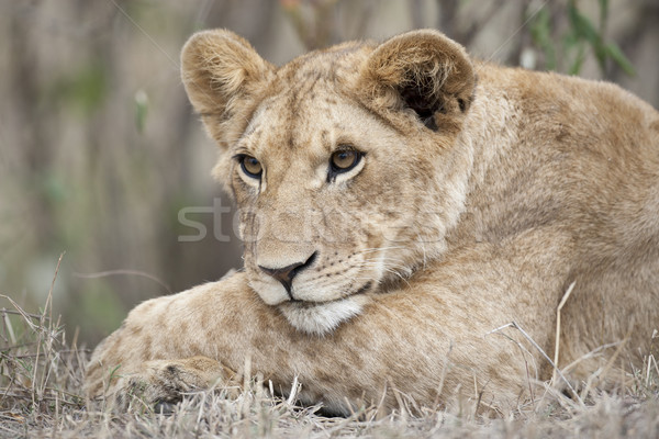 Lion Cub Stock photo © mdfiles