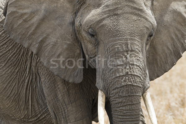 African Elephant Stock photo © mdfiles
