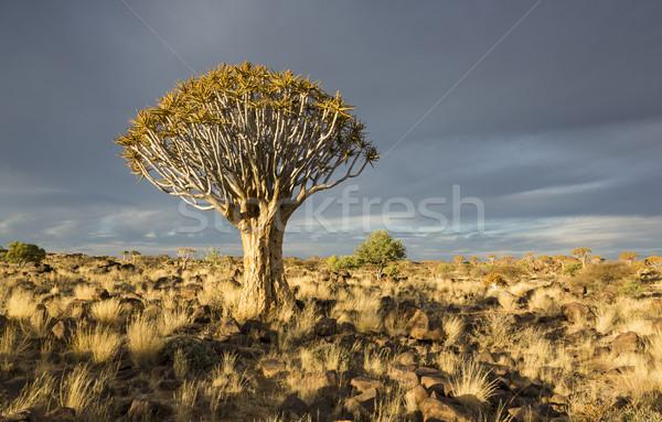 Ağaç aloe parlak akşam güneş ışığı Namibya Stok fotoğraf © mdfiles