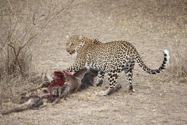 Leopar öldürmek cumhuriyet Kenya yatay Stok fotoğraf © mdfiles