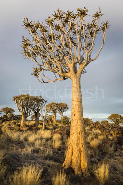 Ağaç aloe sıcak akşam ışık Namibya Stok fotoğraf © mdfiles