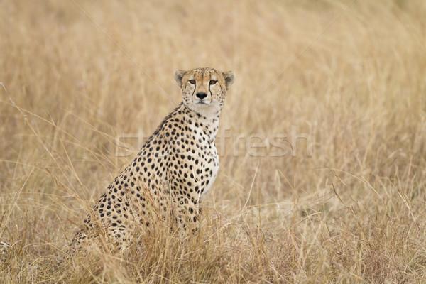 çita rezerv Kenya Afrika çim hayvan Stok fotoğraf © mdfiles