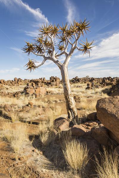 Fa vadon régió Namíbia déli Afrika Stock fotó © mdfiles
