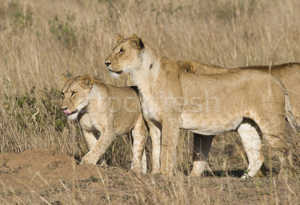 Pride of lions Stock photo © mdfiles