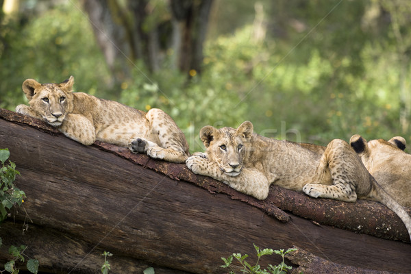 Stock photo: Lion cubs