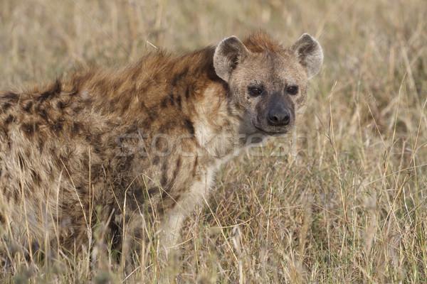 Sırtlan rezerv Kenya Stok fotoğraf © mdfiles