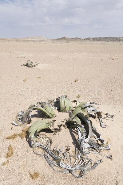 Wonen fossiel republiek Namibië zuidelijk afrika Stockfoto © mdfiles
