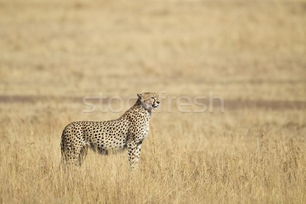 Guépard savane réserve Kenya herbe animaux Photo stock © mdfiles