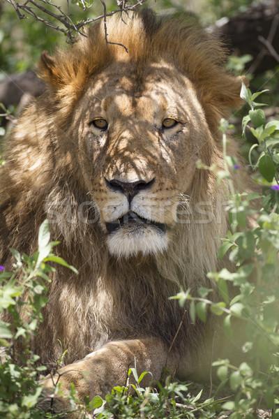 Masculino leão impressionante relaxante sombra arbusto Foto stock © mdfiles