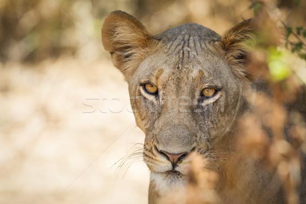 ライオン リザーブ 北方 ケニア アフリカ 水平な ストックフォト © mdfiles