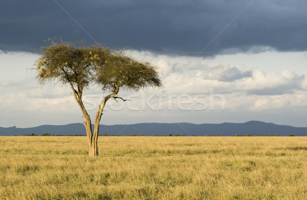 Lonely Tree Stock photo © mdfiles