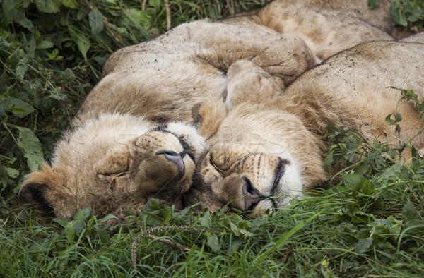 Sleeping Lions Stock photo © mdfiles