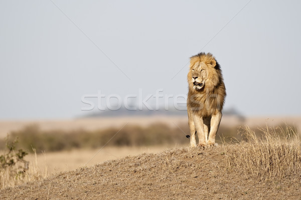Simba Stock photo © mdfiles