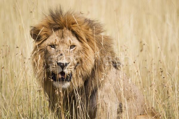 мужчины лев впечатляющий высокий трава Серенгети Сток-фото © mdfiles