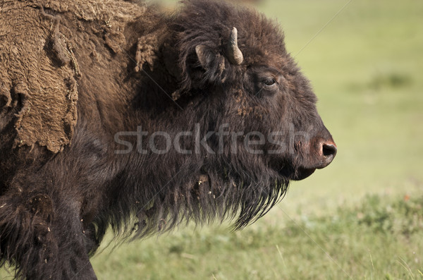 Bizon amerykański South Dakota Stany Zjednoczone Ameryki Zdjęcia stock © mdfiles