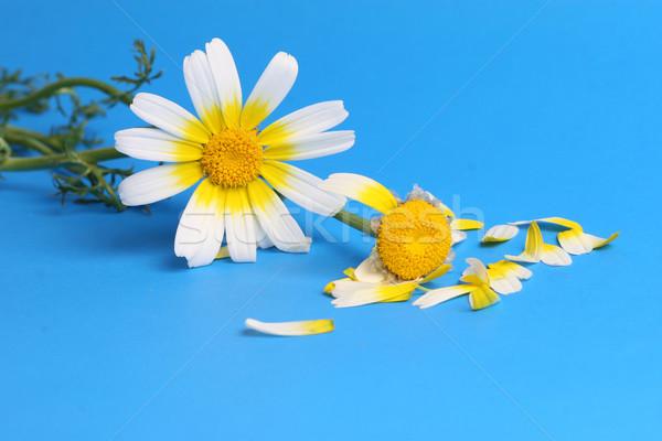 daisy background Stock photo © mehmetcan