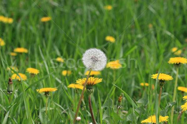 Bloem hemel voorjaar gras blad tuin Stockfoto © mehmetcan