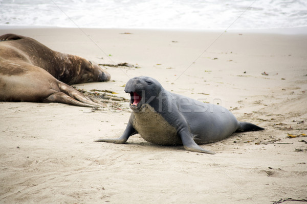 male sealion at the beach Stock photo © meinzahn