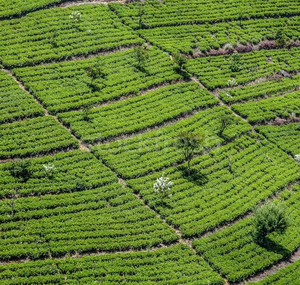 зеленый чай плантация Шри Ланка работу природы области Сток-фото © meinzahn