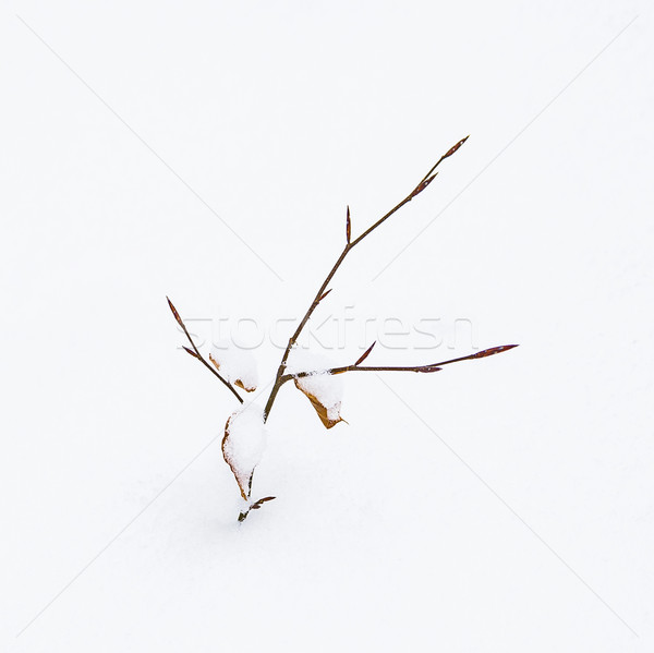 Pormenor frágil folha inverno neve árvore Foto stock © meinzahn