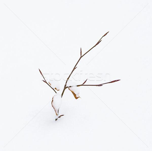 detail of fragile leaf in winter in snow Stock photo © meinzahn