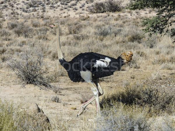 Sauvage autruche savane Afrique du Sud désert portrait Photo stock © meinzahn