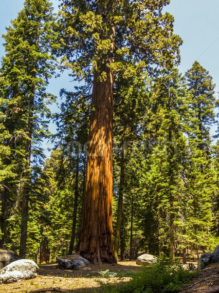 Wysoki duży sekwoja parku piękna drzewo Zdjęcia stock © meinzahn