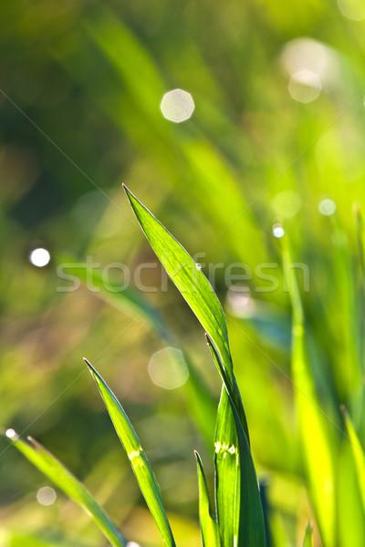 Piękna zielona trawa szczegół rosa kwiat wiosną Zdjęcia stock © meinzahn