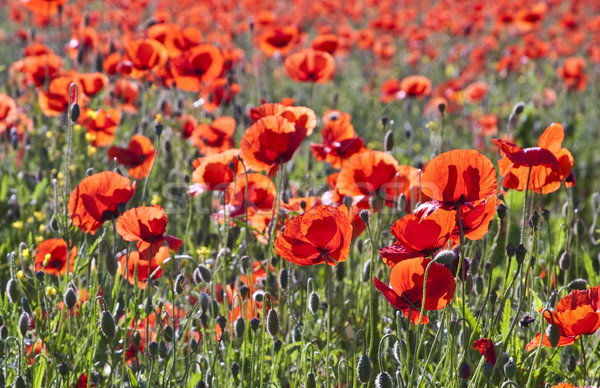 colorful red poppy flowers in the meadow Stock photo © meinzahn