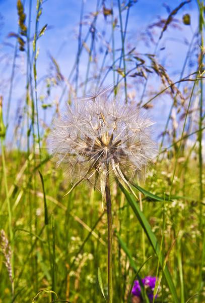 Mooie bloem weide voorjaar achtergrond veld Stockfoto © meinzahn