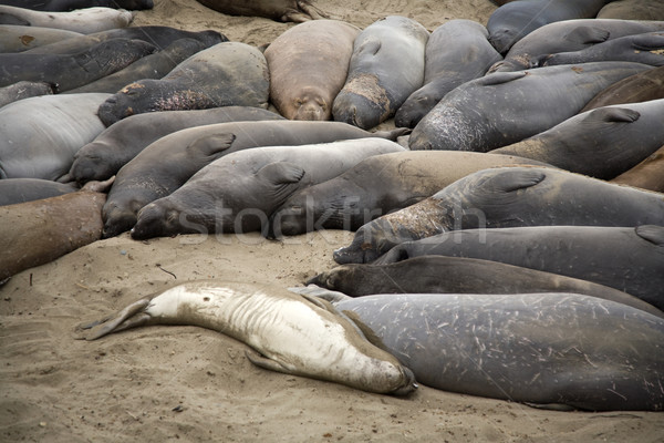 male sealion at the beach Stock photo © meinzahn