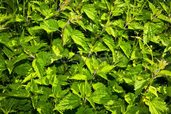 nettles in meadow Stock photo © meinzahn