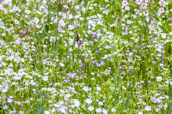Colorful wildflowers on meadow Stock photo © meinzahn