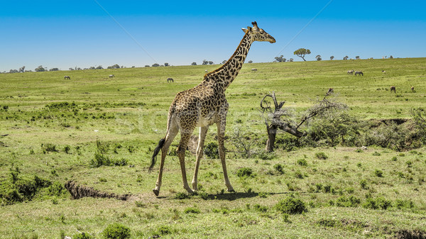 giraffe in Masai Mara National Park. Stock photo © meinzahn