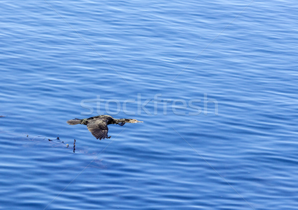 cormorant flying over the pacific ocean Stock photo © meinzahn