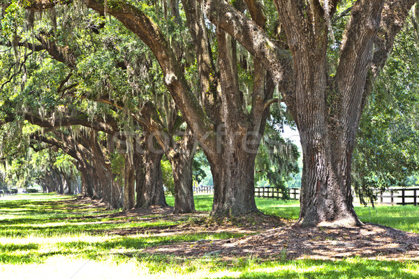 tree alley in typical south carolina farm entrance Stock photo © meinzahn