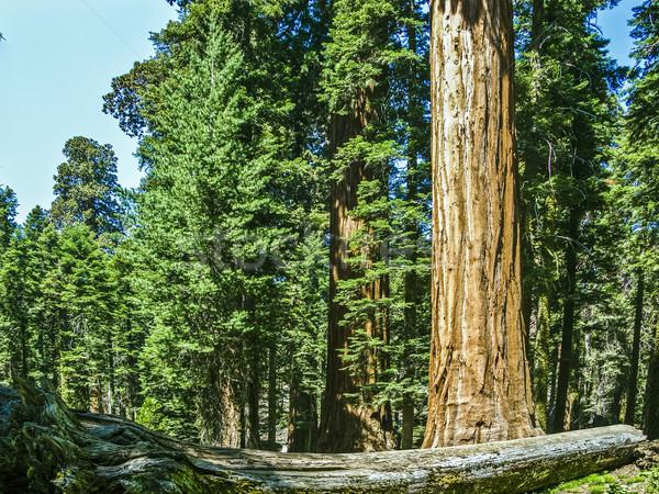 Sekwoja drzewo lasu wysoki duży piękna Zdjęcia stock © meinzahn