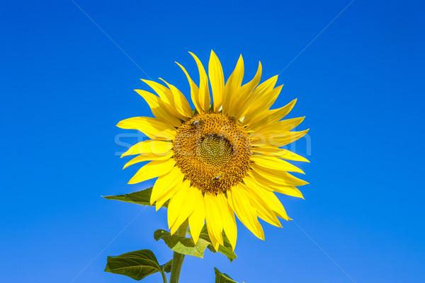 Nap virág külső nektár levél nyár Stock fotó © meinzahn