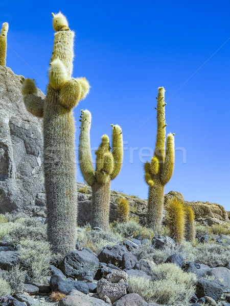 Huge Trichoreus cactus standing on Isla Incahuasi at salt plain Stock photo © meinzahn