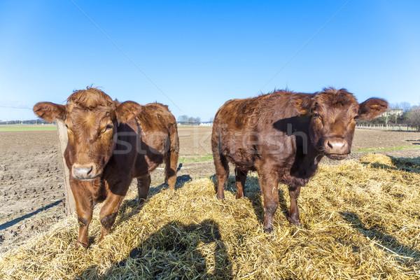 friendly cattles on straw  Stock photo © meinzahn