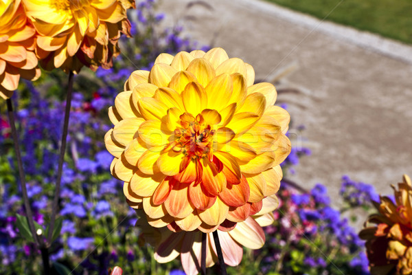 beautiful blooming dahlia in flower bed Stock photo © meinzahn