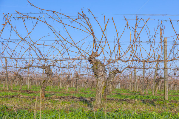 vineyard in winter time  with blue sky Stock photo © meinzahn