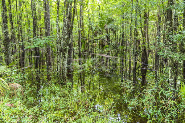 Bald  Trees reflecting in the water in a florida swamp on a warm Stock photo © meinzahn