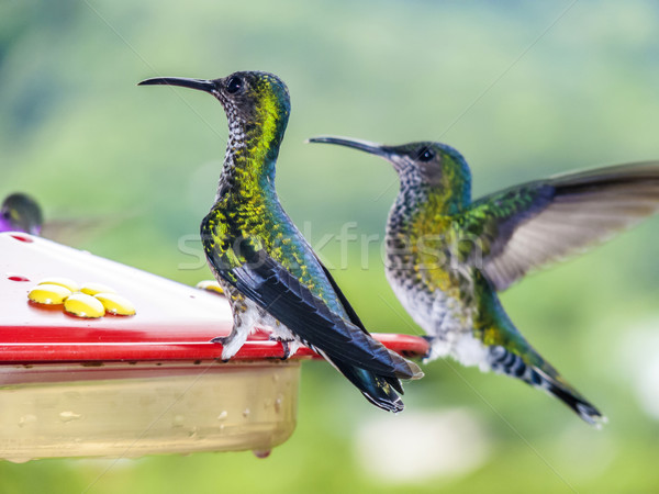 Stock photo: hummingbirds in Brazil