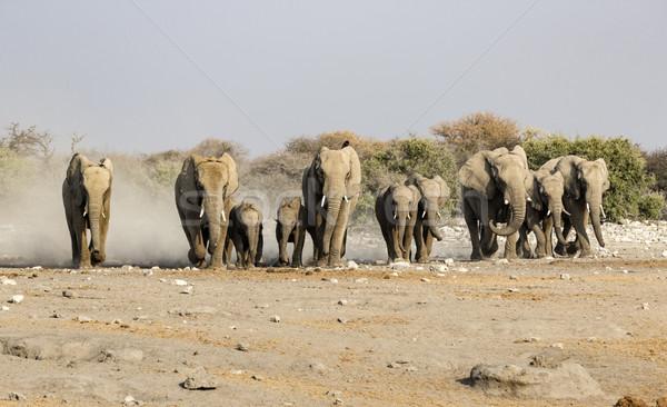 elephants in the savannah of the Etosha national park  Stock photo © meinzahn