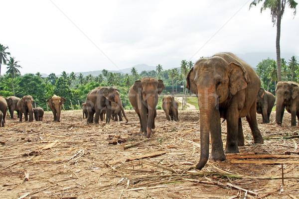 flock of elephants in the wilderness  Stock photo © meinzahn