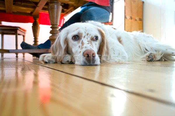 dog lying at the wooden floor in the dining room Stock photo © meinzahn